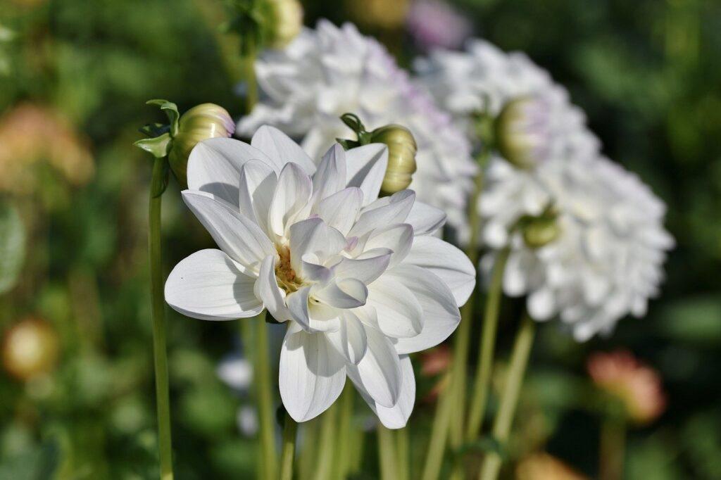 dahlias, flowers, petals